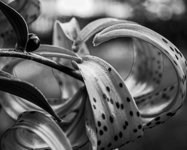 Tiger Lily Bw Photography Art | Happy Hogtor Photography