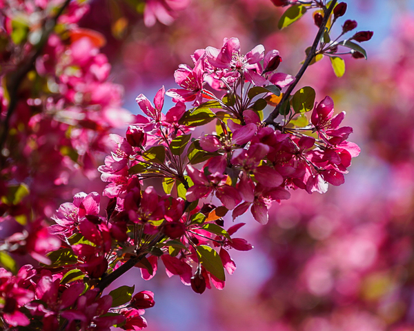 Blooming Crab Apple Tree Photography Art | Happy Hogtor Photography