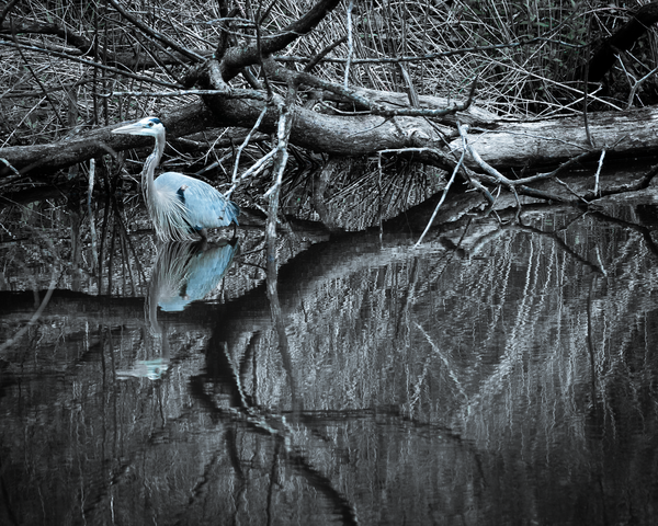 Blue Heron Bathing Photography Art | Happy Hogtor Photography