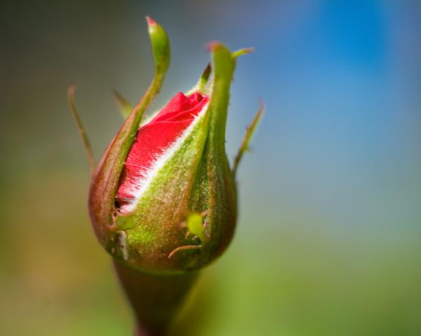 Rose Bud Photography Art   Happy Hogtor Photography