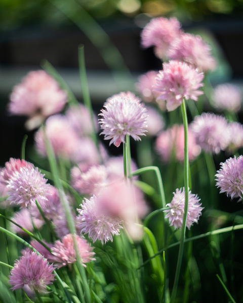 Pink Blossoms Photography Art | Happy Hogtor Photography