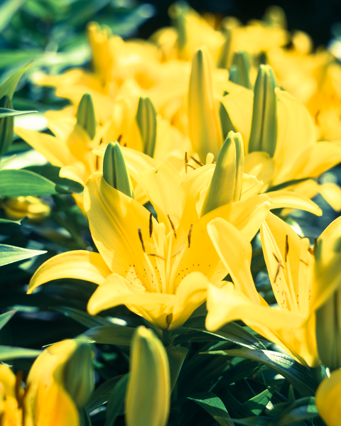 Soft Yellow Lilies Photography Art | Happy Hogtor Photography