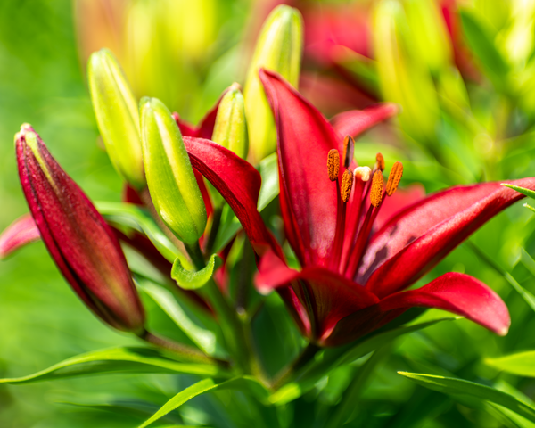 Soft Red Lilies Photography Art | Happy Hogtor Photography