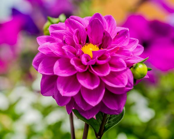 Pink Dahlia Photography Art   Happy Hogtor Photography