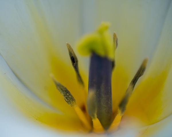 Tulip Stamen Photography Art   Happy Hogtor Photography