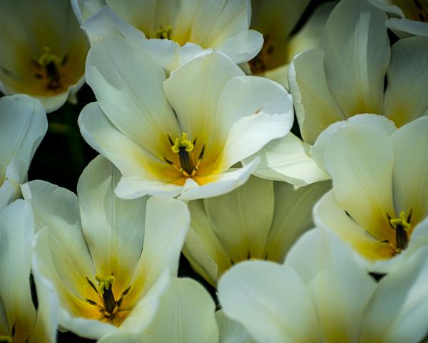 White Tulips Photography Art   Happy Hogtor Photography