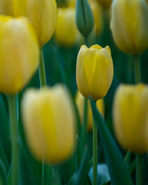 Yellow Tulips Photography Art   Happy Hogtor Photography