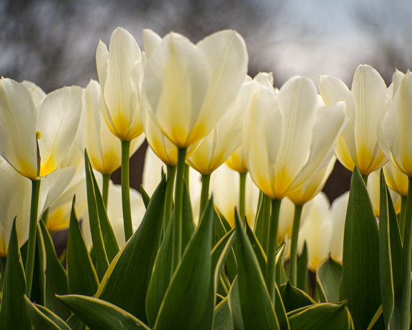Glowing Tulips Photography Art   Happy Hogtor Photography
