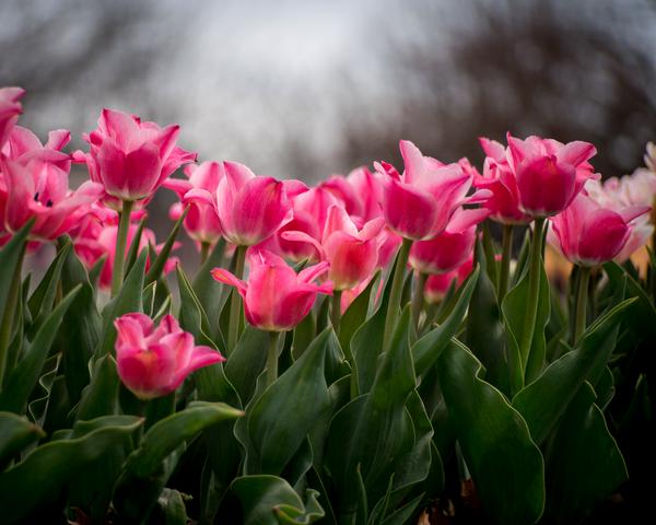 Pink Tulips Photography Art   Happy Hogtor Photography