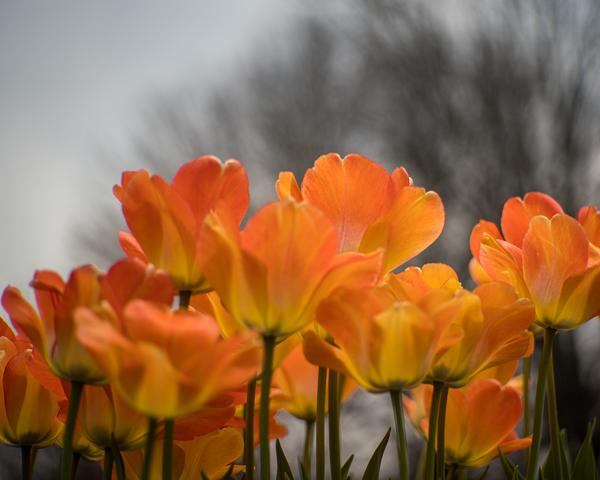Orange Tulips Photography Art   Happy Hogtor Photography