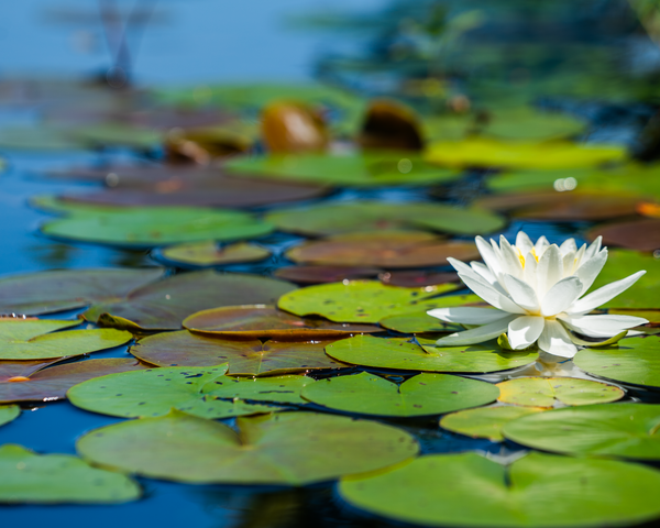 White Water Lily Photography Art   Happy Hogtor Photography