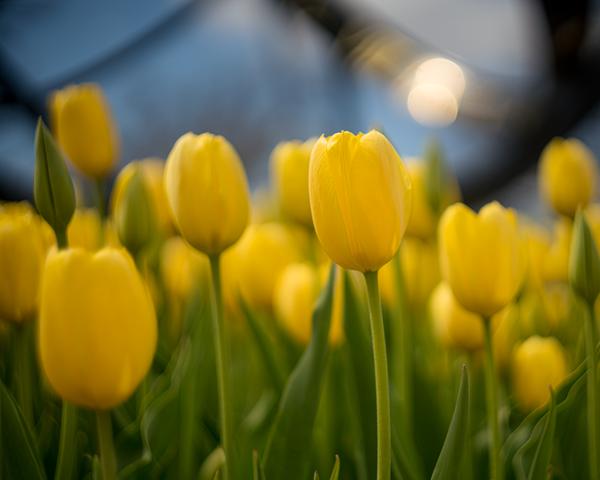 Glowing Yellow Tulips Photography Art   Happy Hogtor Photography