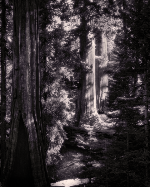 Fine Art Print | Redwood Grove Footpath
