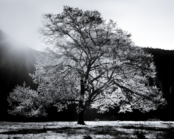 Elm in Morning Light Cooks Meadow Yosemite | Fine Art Print