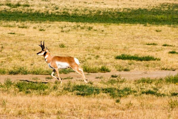 Dscf5633 Running Pronghorn Antelope Photography Art   Eric Hatch