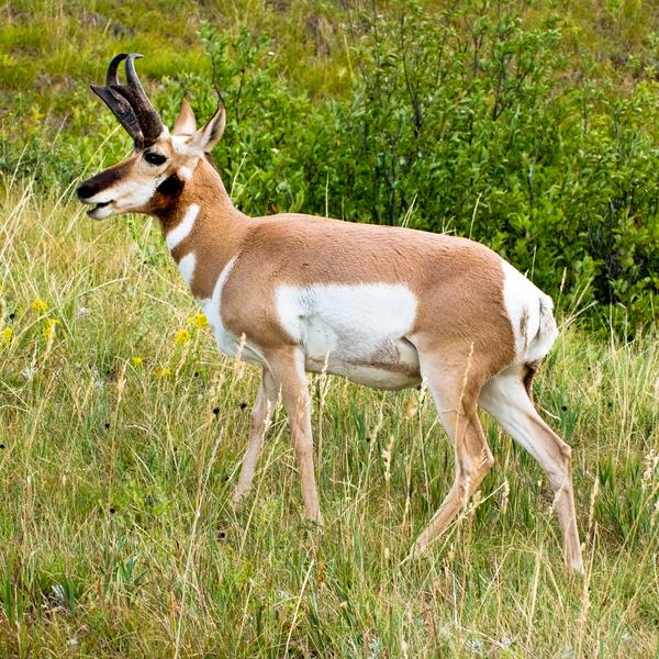 Dscf4784 Pronghorn Antelope Master Photography Art   Eric Hatch