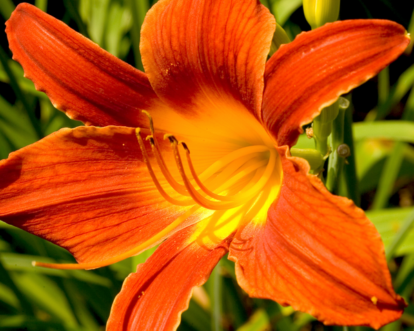 Day Lily 2 Photography Art | Eric Hatch