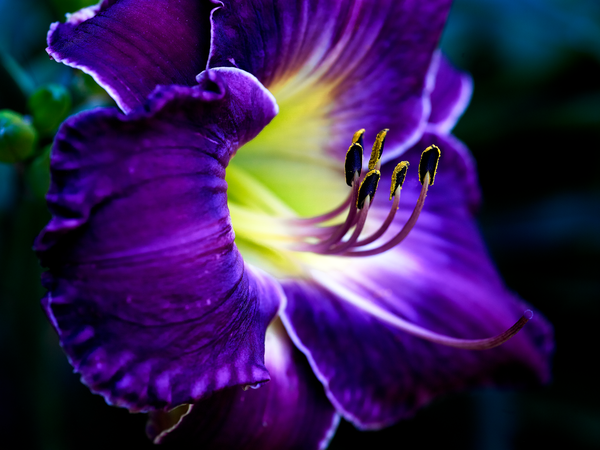 Purple Lily Photography Art | Eric Hatch