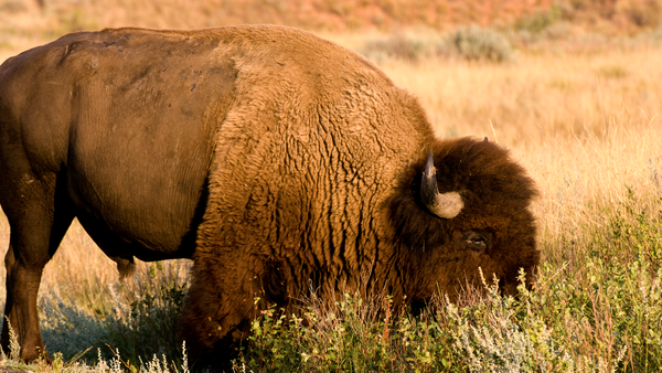 Bison Late Afternoonsrgb Photography Art | Eric Hatch