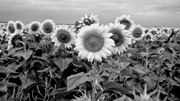 South Dakota Sunflowers Bw Photography Art | Eric Hatch