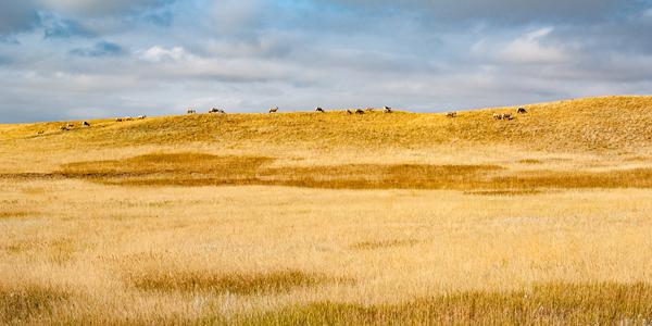 Bighorn Sheep On Horizon Panorama Photography Art | Eric Hatch