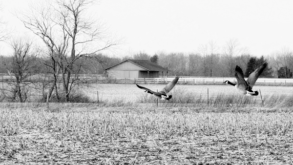 Winter Geese  Photography Art | Eric Hatch