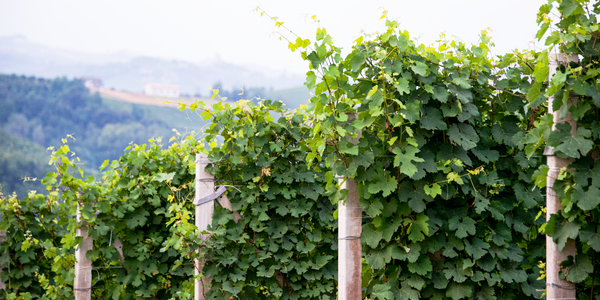 Cuneo Province Italy Vineyard Photography Art | Eric Hatch