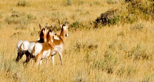 Dscf5663 Young Antelopes Cu Panorama Photography Art   Eric Hatch