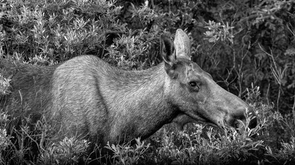 Munching Moose Bw Pano Photography Art   Eric Hatch
