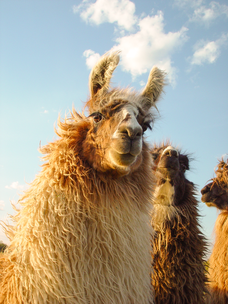 Windblown Blond Llama Sunset Photography Art | Eric Hatch