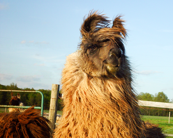 Bad Hair Day Llama Photography Art | Eric Hatch