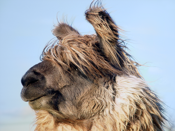 Hairy Llama In The Wind Photography Art | Eric Hatch