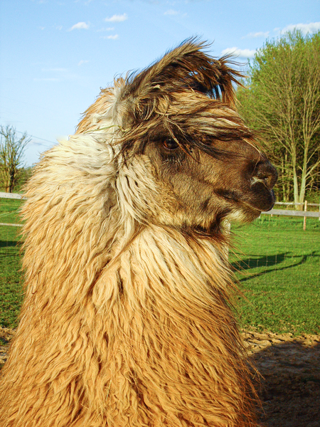 Windblown Llama Profile Photography Art | Eric Hatch