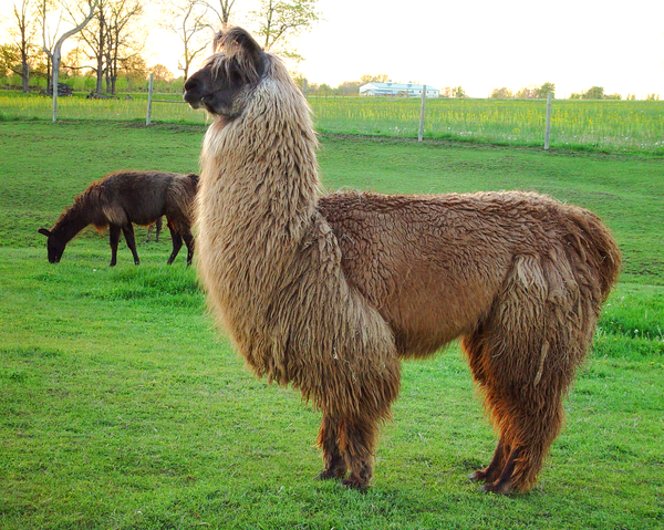 Llama Evening Pose Photography Art | Eric Hatch