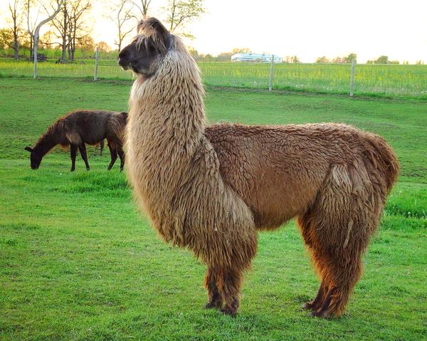 Llama Evening Pose Photography Art   Hatch Photo Artistry LLC