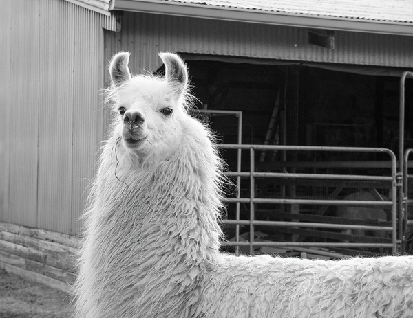 Lady Llama Bw Photography Art | Eric Hatch