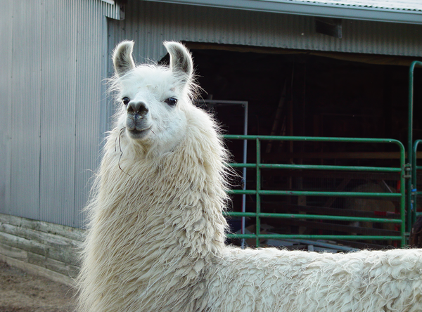Lady Llama Color Photography Art | Eric Hatch