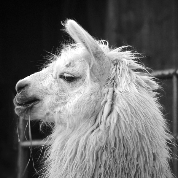 Llama Profile Bw Photography Art | Eric Hatch