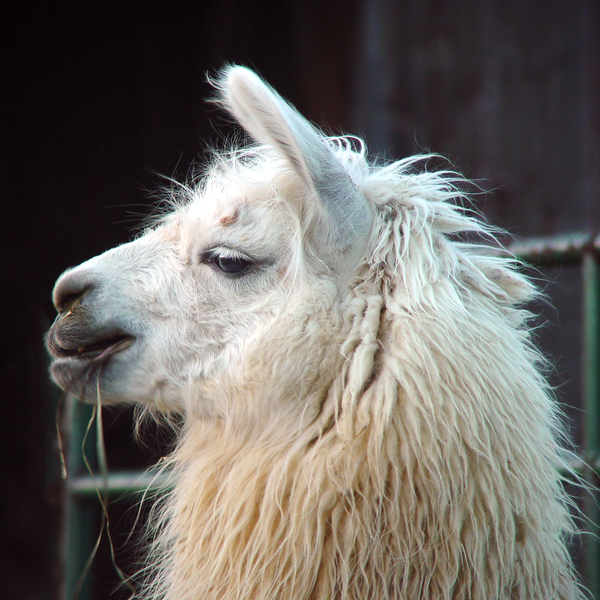 Lovely Lady Llama (Color) Photography Art | Eric Hatch