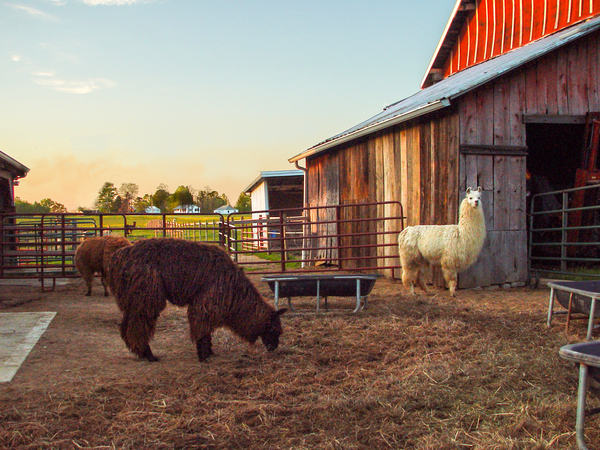 Llama Barnyard Sunset Photography Art | Eric Hatch