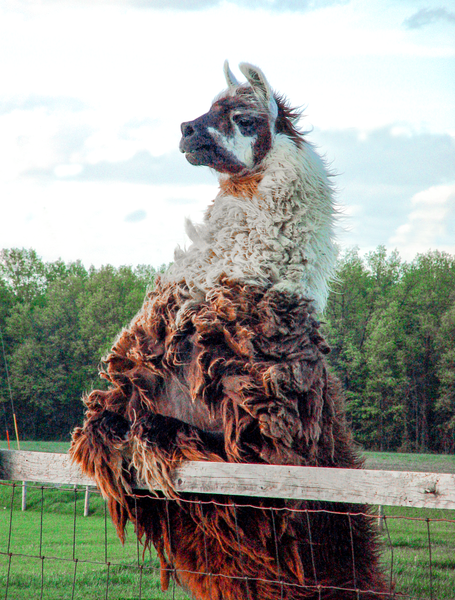 Neighborly Llama Photography Art | Eric Hatch