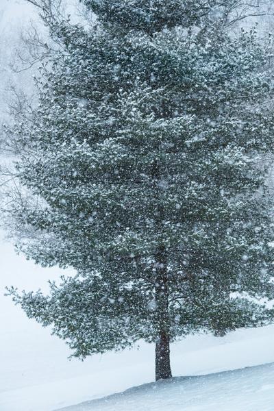 Snowy Fir Photography Art | Eric Hatch