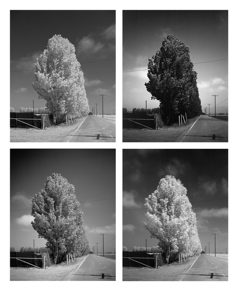 California Landscape Photography-Poplar Trees in Windstorm