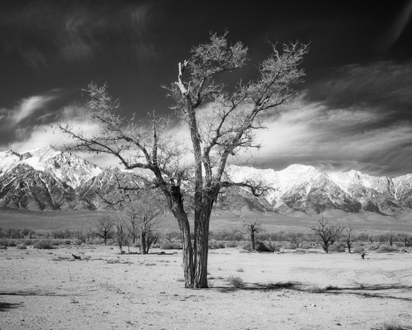 California Landscape Photography - Tree and Snow-Capped Mountains