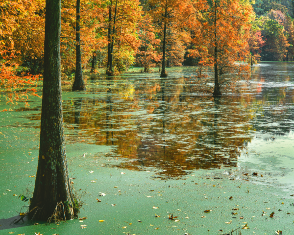 Bald Cypress Of Trap Pond Autumn Scene Photography Art | Robert Vielee Photography