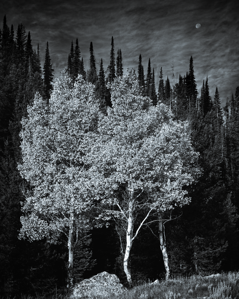 Fine Art Print | Three Aspens at Moonrise in B&W