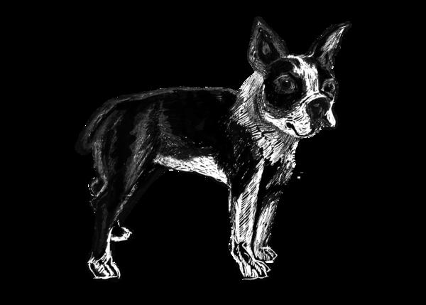 Boston Terrier Art | Marie Stephens Art