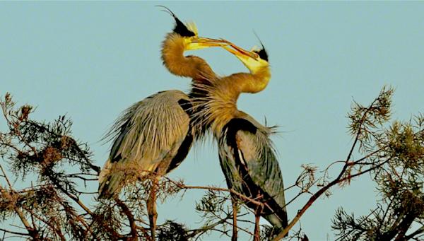 kissing-birds