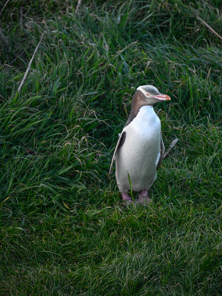 Yellow Eyed Penguin At Dusk Photography Art | Hatch Photo Artistry LLC