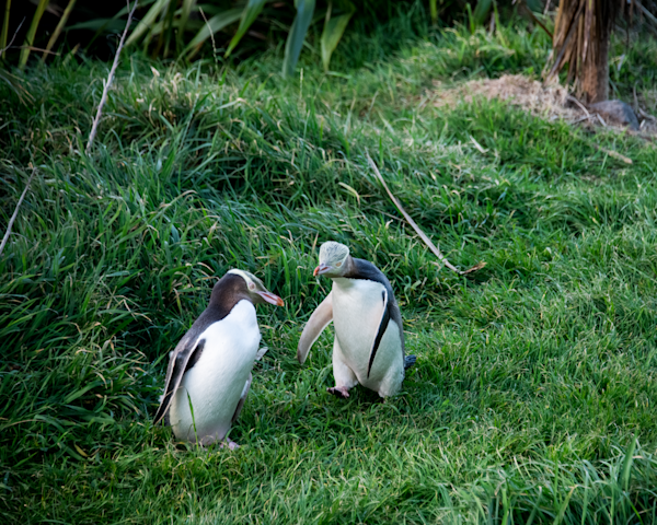 Yellow Eyed Penguin Couple Photography Art | Eric Hatch